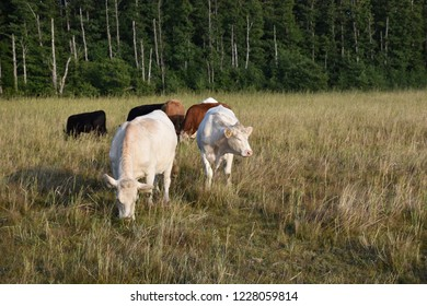 Herd with grazing cattle in a green grassland with a forest background