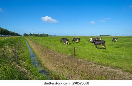 Herd of grazing cows in a meadow in summer