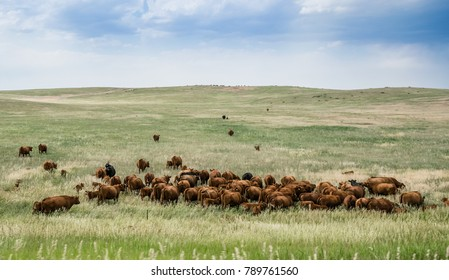 Herd of grazing cows on a vast field in Colorado. Rural landscape in the USA