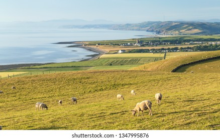 Herd of grazing sheep on coastal hills near Aberystwyth in Wales,UK
