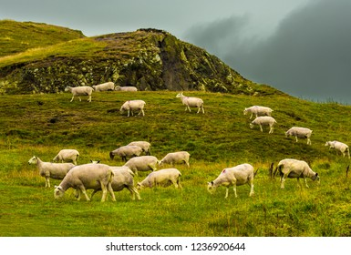 Herd Of Grazing Sheep On Rocky Pasture In Scotland