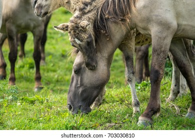 Herd of grey konik horses.