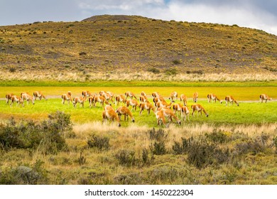 Herd of Guanaco grazing in the green pasture at Torres del Paine National Park in Chilean Patagonia, Chile