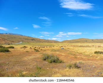Herd of Guanaco in Patagonia Chile