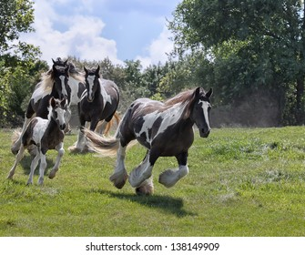 Herd of Gypsy Vanner (Irish Cob, Gypsy Cob) horses running down a hillside.