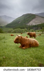 A herd of Highlander Cows laying on a meadow somewhere in the Scottish Hills