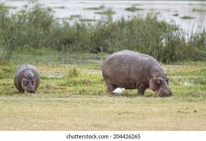 Herd of hippo (Hippopotamus amphibius kiboko) out of water, Amboseli National Park, Kenya