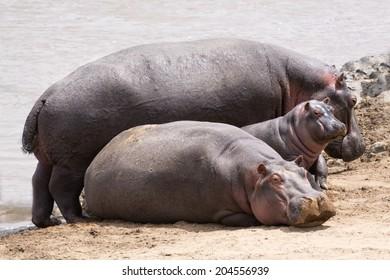 Herd of hippo (Hippopotamus amphibius kiboko) out of water, Mara river, Masai Mara  National Park, Kenya