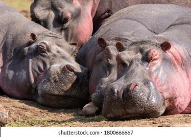 A herd of Hippos relaxing near the banks of Mara River on a wildlife safari inside Masai Mara National Reserve