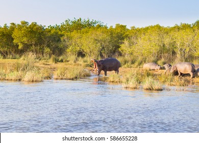 Herd of hippos sleeping along river from Isimangaliso Wetland Park, South Africa. Safari into wildlife. Animals in nature