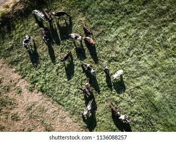 Herd of Holstein Friesian cows grazing on green pasture, view from directly above