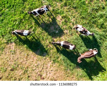 Herd of Holstein Friesian cows grazing on green pasture, view directly from above