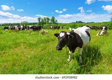A herd of Holstein Friesian cows grazing on a pasture under blue cloudy sky
