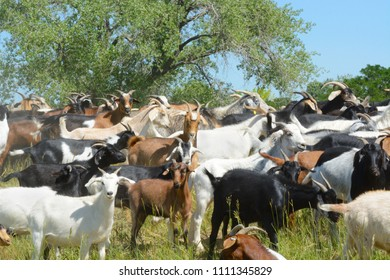 Herd of horned goats used for chemical free natural weed control and wildfire mitigation measures in wildlife refuges