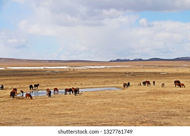 Herd of horse feeding in golden siberian field in late winter of Russia country