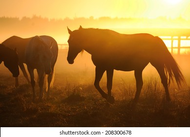 Herd of horses at dawn in the sun. Leader goes to the other horses in the background fog