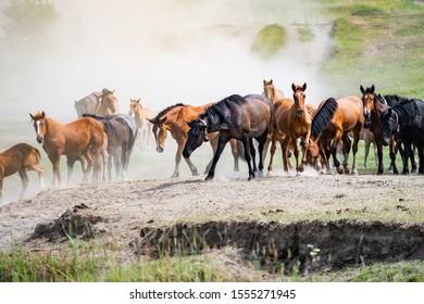 herd of horses in the dust