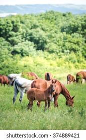 Herd of horses. Herd of horses eating grass. Vertical photo.