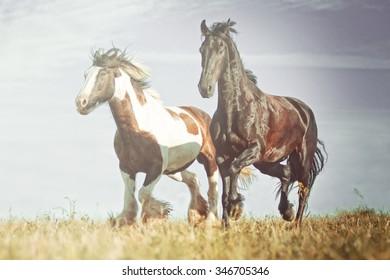 herd of horses friesian horse with irish cob running