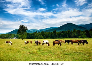 Herd of horses graze before smoky mountains in Tennessee at Cades Cove Great Smoky Mountains National Park