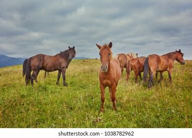 herd of horses is grazed against mountains
