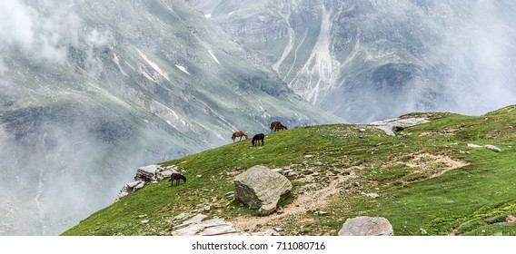 A herd of horses grazing in a meadow near the Rohtang Pass on the Leh - Manali highway - Tibet, Himalayas, Himachal Pradesh, Northern India