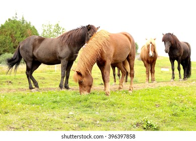 Herd of horses are on the field and eat a grass