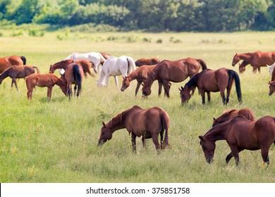 Herd of horses on field in summer