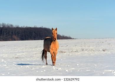 Herd of horses on the field in winter