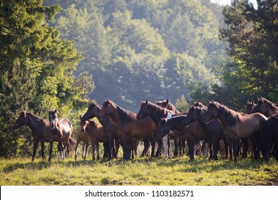 Herd of horses on the mountain pasture