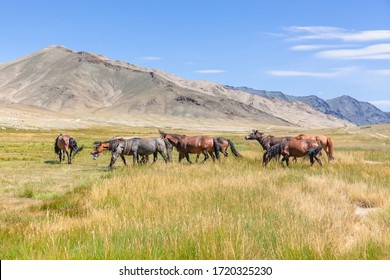 Herd of horses on mountains meadows of mongolian Altai