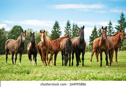 Herd of horses on the pasture