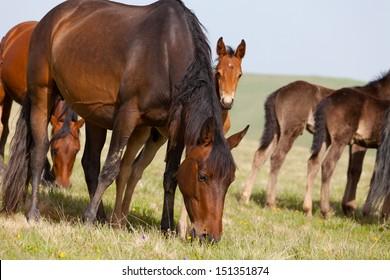 Herd of horses on a summer pasture. Elbrus, Caucasus, Karachay-Cherkessia