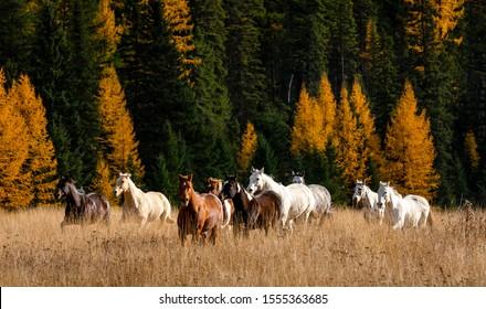 Herd of Horses Running Through field at Montana Ranch
