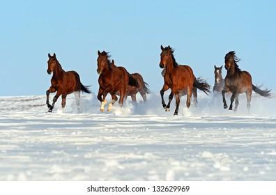 Herd of horses running through a snowy field gallop