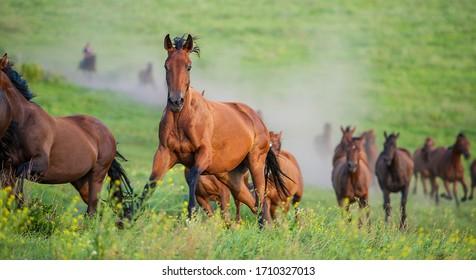 herd of horses runs through the meadow. English breed of horses. Ukraine. Europe.