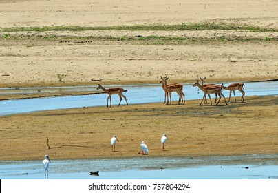 Herd of Impala (Aepyceros melampus) standing on the dry river bed in South Luangwa national park, Zambia