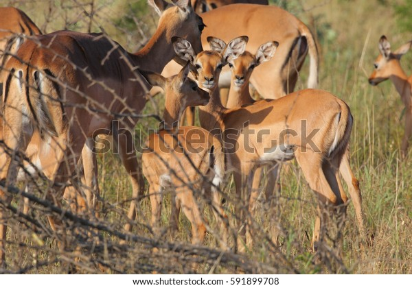 Herd of impala antelope with babies in grass field, South Africa