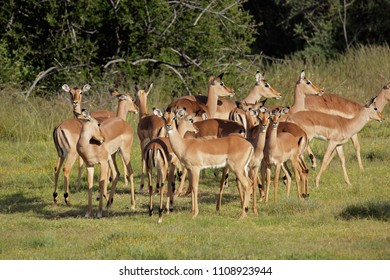 A herd of impala antelopes (Aepyceros melampus), South Africa