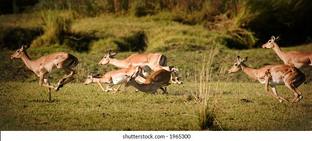 herd of impala running and falling