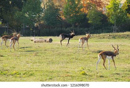 herd of indian antelopes blackbucks (Antilope cervicapra) walking on the meadow