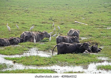Herd of Indian water buffaloes in marshy field, in company with flock of egret heron birds
