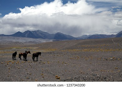 Herd of isolated wild chilean horses (Equus ferus caballus) on barren waste dry terrain with tufts of dry grass at altiplanos of Atacama desert, Chile