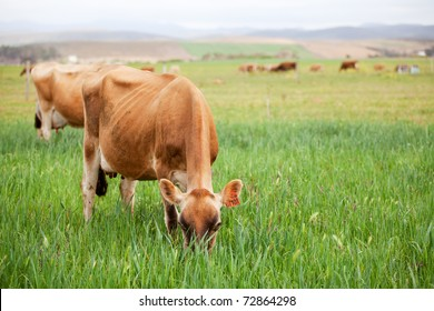 Herd of Jersey cows grazing in a green pasture