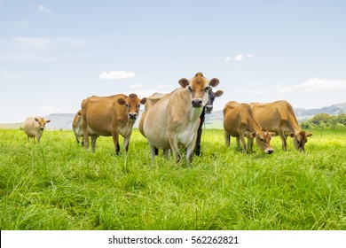 Herd of Jersey cows on a dairy farm