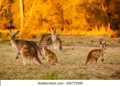 Herd of kangaroos at twilight (Coombabah Lake, QLD, Australia)