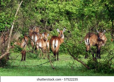 A herd of kob in Mole NP in Ghana