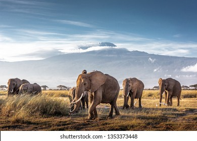 Herd of large African elephants walking in front of Mount Kilimanjaro in Amboseli, Kenya Africa