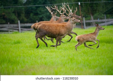 Herd of large Red Deer Running in a grassy Field.