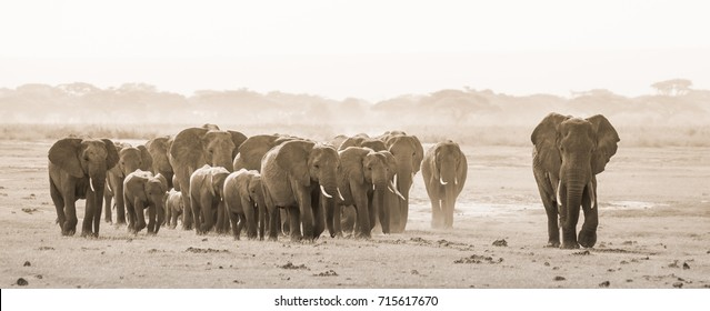 Herd of lephants at Amboseli National Park, formerly Maasai Amboseli Game Reserve, is in Kajiado District, Rift Valley Province in Kenya. The ecosystem that spreads across the Kenya Tanzania border.